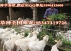 白绒山羊养殖适合种的青饲料牧草种植
